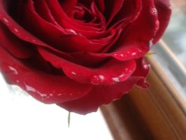 Rose Stock 3 by emmys-stock