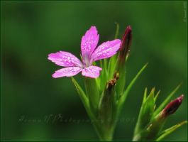 'Grass Pink' by WaitingForTheWorms
