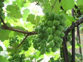 The Grapes' Homeland by Elfresh