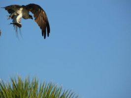 Osprey With Fish Dinner 2 by Aswang301
