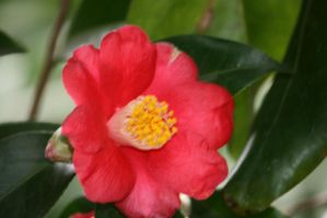 awesome pink camellia by ingeline-art