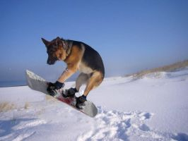 snowboard dog by pierzyna