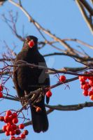 Birds and Berries6 by GMCollins