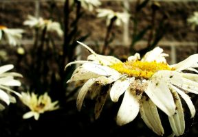 Daisies by Beckibracelet