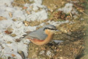 Eurasian Nuthatch by CrAz86