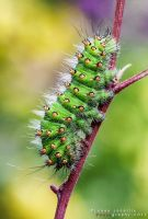 The caterpillar of The Small Emperor Moth by lukjonis