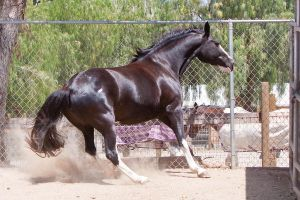 HORSE STOCK - Pippin 6 by kittykitty5150