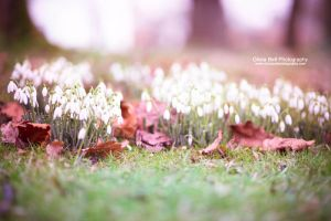 Snowdrops - Day 184 by escaped-emotions