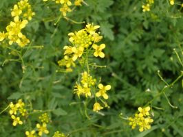 Yellow flowering weed by ginger-rock