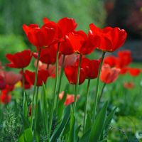 four tulips by augenweide