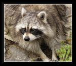 Rocky Racoon by dove-51