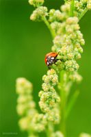 Lonesome Ladybeetle by Regadenzia