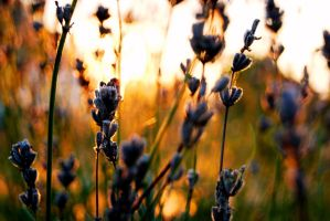 Golden color by cscruff