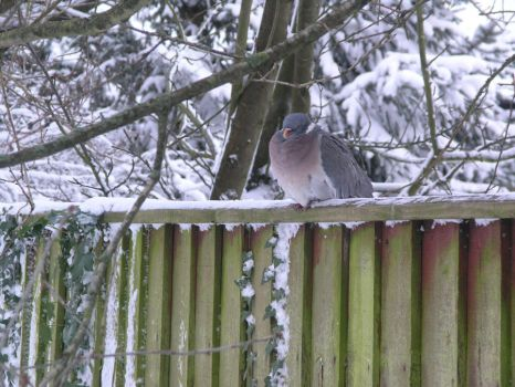 snow stock 09 pigeon 30 by EmzazasStock