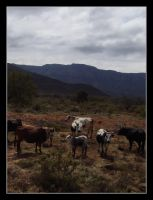 Nguni Cattle by Devil-Wolf-1999