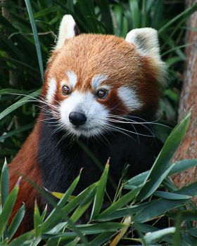 Red Panda by Gee-Fatboy