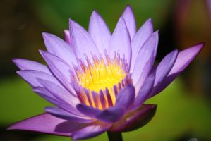 Water lilly 9570 by fa-stock
