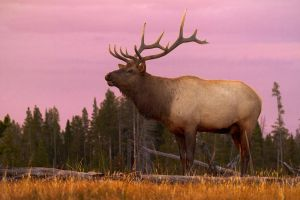 Elk at Sunset by StevenDavisPhoto
