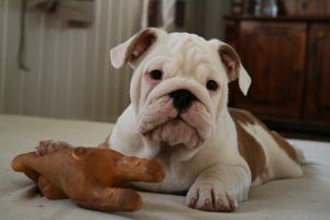 Bulldog puppy by EarudienUndomiel
