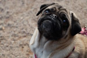 .mops. by awphotoart