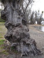 Photo: Gnarled Tree by AskGriff