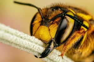 European Wool Carder Bee I by dalantech