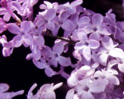 Lilacs Background by Reactor5