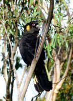 Yellow-tailed black Cockatoo by AfroDitee