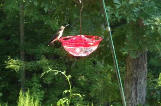 FELIX the HUMMINGBIRD AT OUR FEEDER in NC by zappa10