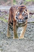 [STOCK] [Hi-Res] Tiger by Seb-Photos