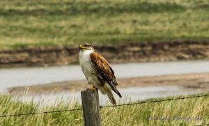 Ferruginous Hawk I by Kaptive8