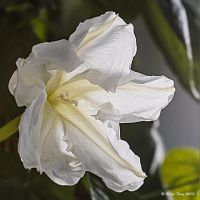 MoonFlower by UncleTerry