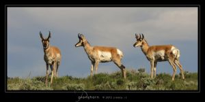 Pronghorn by Crooty