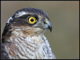 Sparrowhawk Portrait by cycoze