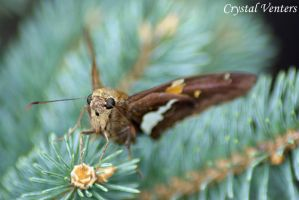 Silver-spotted Skipper by poetcrystaldawn