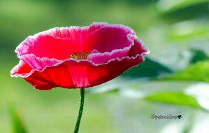 Poppy Sweetness by gigi50