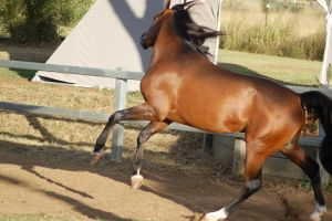 JA bay Arab rearleap from side by Chunga-Stock