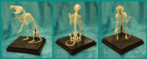 For sale: Articulated gopher skeleton by BluesCuriosities