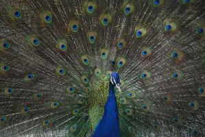 Peacock by jamescut