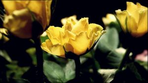 Yellow Rose by RoxanneLilithwen