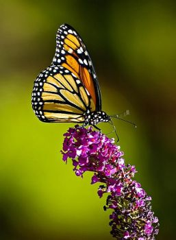 Monarch Butterfly by aronbrand