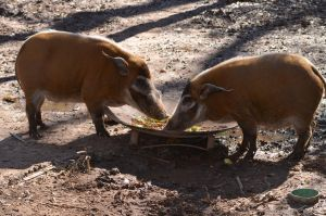 Red River Hog Stock 01 by Vesperity