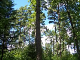 pine forest by Nusio21