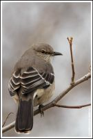 northern mocking bird by griffspixs
