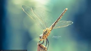 Insect dragonfly by MohannadQassab