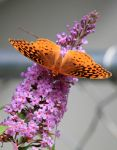 Flutter 03 by WisteriaPhotography