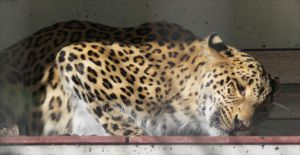 Persian leopard by Parides