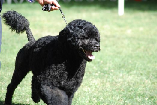 Portuguese Water Dog 2 by xxtgxxstock