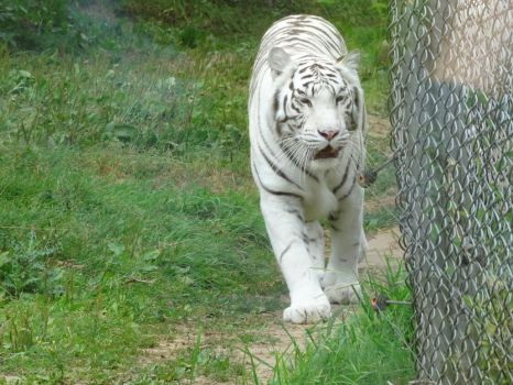 Bengal White Tiger (Tigre Blanc du Bengale) by NohlwaynKherVail