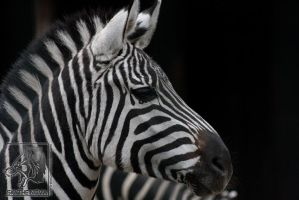 .:Elegance of Zebra:. by NathalieNova